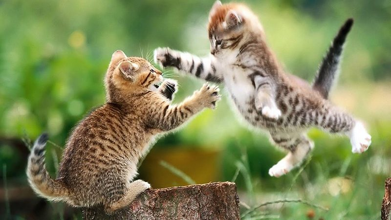 cat behaviour fight