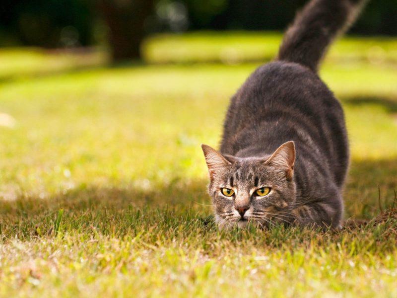 cat behaviour hunting